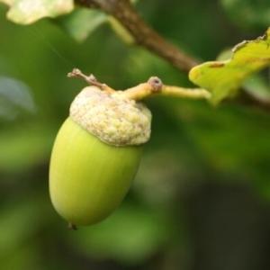 Photographie n°267740 du taxon Quercus robur subsp. fastigiata (Lam.) A.Camus
