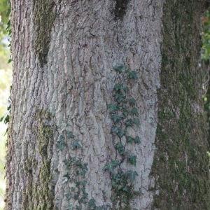 Photographie n°267742 du taxon Quercus robur subsp. fastigiata (Lam.) A.Camus