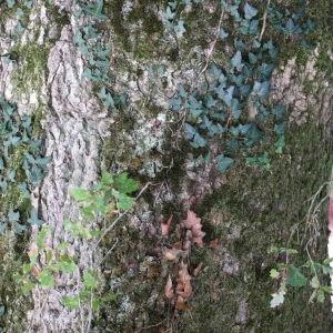 Photographie n°267745 du taxon Quercus robur subsp. fastigiata (Lam.) A.Camus