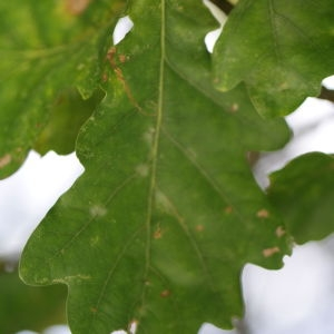 Photographie n°267752 du taxon Quercus robur subsp. fastigiata (Lam.) A.Camus