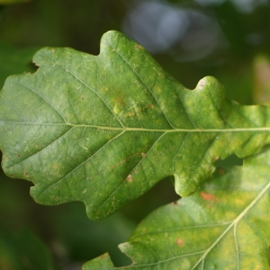 Photographie n°267756 du taxon Quercus robur subsp. fastigiata (Lam.) A.Camus