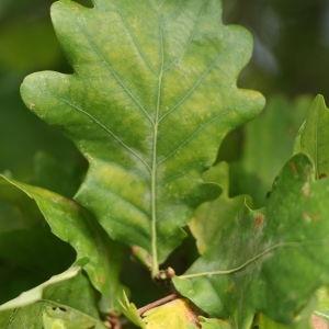 Photographie n°267757 du taxon Quercus robur subsp. fastigiata (Lam.) A.Camus