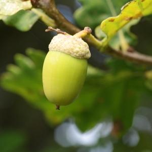 Photographie n°267759 du taxon Quercus robur subsp. fastigiata (Lam.) A.Camus