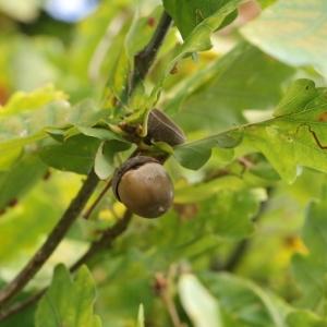 Photographie n°267763 du taxon Quercus robur subsp. fastigiata (Lam.) A.Camus
