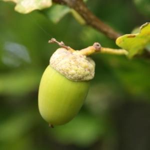 Photographie n°267766 du taxon Quercus robur subsp. fastigiata (Lam.) A.Camus