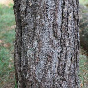 Photographie n°267882 du taxon Pinus nigra subsp. salzmannii (Dunal) Franco