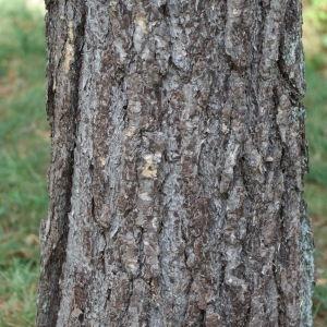 Photographie n°267884 du taxon Pinus nigra subsp. salzmannii (Dunal) Franco