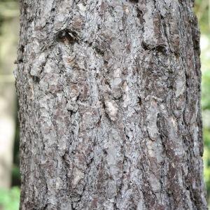 Photographie n°267886 du taxon Pinus nigra subsp. salzmannii (Dunal) Franco