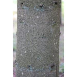 Abies nordmanniana (Steven) Spach (Sapin de Nordmann)