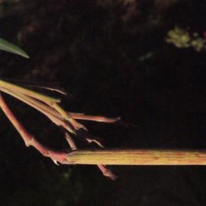 Photographie n°268142 du taxon Nerium oleander L. [1753]