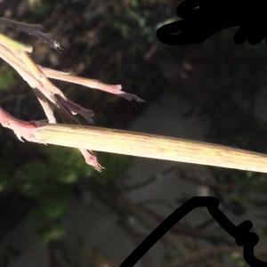 Photographie n°268153 du taxon Nerium oleander L. [1753]