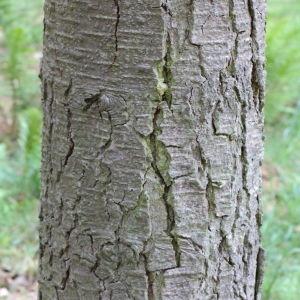 Photographie n°268157 du taxon Abies procera Rehder [1949]