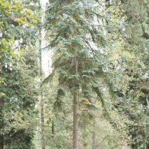 Photographie n°268166 du taxon Abies procera Rehder [1949]