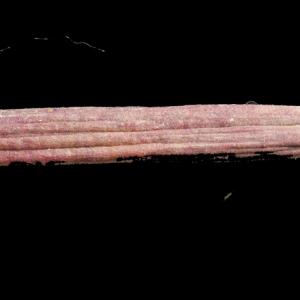 Photographie n°268169 du taxon Nerium oleander L. [1753]