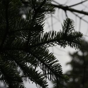 Photographie n°268170 du taxon Abies procera Rehder [1949]