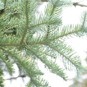 Photographie n°268171 du taxon Abies procera Rehder [1949]