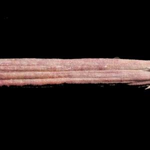 Photographie n°268174 du taxon Nerium oleander L. [1753]
