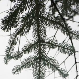 Photographie n°268180 du taxon Abies procera Rehder [1949]