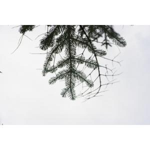 Abies procera Rehder (Sapin de l'Oregon)