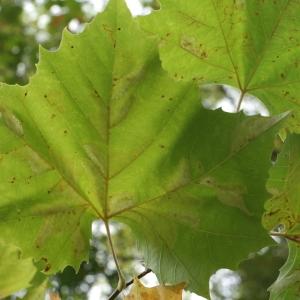 Platanus occidentalis L. (Platane d'Amérique)