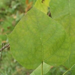 Photographie n°268233 du taxon Catalpa bignonioides Walter [1788]