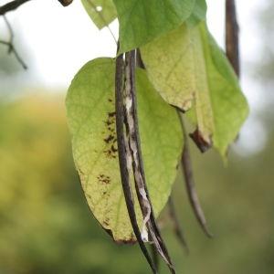 Photographie n°268245 du taxon Catalpa bignonioides Walter [1788]