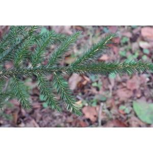 Picea orientalis (L.) Link (Épicéa du Caucase)