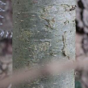 Photographie n°268404 du taxon Platanus orientalis L.