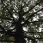 Pierre Bonnet - Quercus petraea (Matt.) Liebl. [1784]