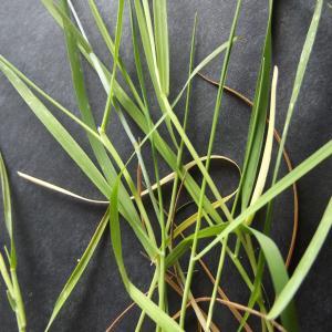 Photographie n°268767 du taxon Alopecurus aequalis Sobol.
