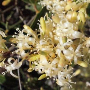 Photographie n°268816 du taxon Smilax aspera L. [1753]