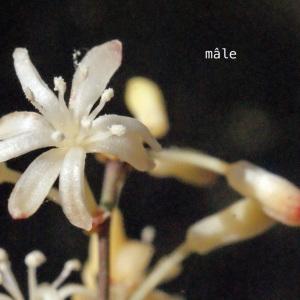 Photographie n°268821 du taxon Smilax aspera L. [1753]