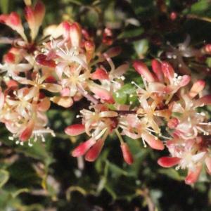Photographie n°268827 du taxon Smilax aspera L. [1753]
