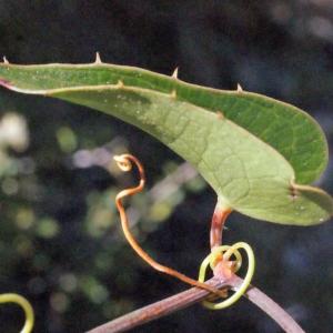 Photographie n°268837 du taxon Smilax aspera L. [1753]