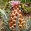 Jean-Claude Calais - Rhaponticum coniferum (L.) Greuter [2003]
