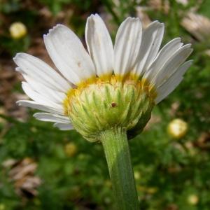 Photographie n°268890 du taxon Anthemis arvensis L. [1753]