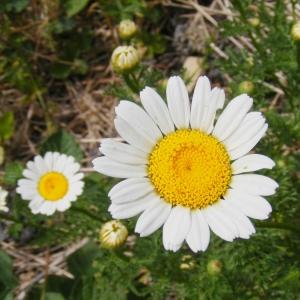 Anthemis arvensis L. (Anthémis des champs)