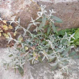 Photographie n°269003 du taxon Buddléia arbre-aux-papillons