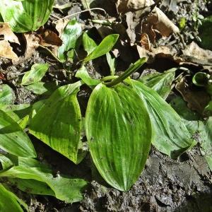 Potamogeton polygonifolius Pourr. (Potamot à feuilles de renouée)