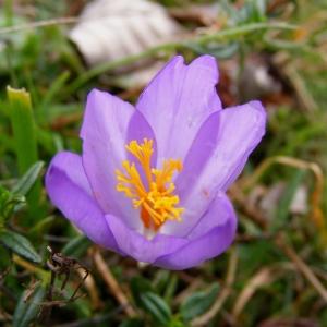 Crocus nudiflorus Sm. (Crocus à fleurs nues)