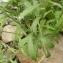 Jean-Claude Calais - Leucanthemum adustum (W.D.J.Koch) Gremli [1898]