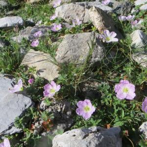 Photographie n°269147 du taxon Geranium cinereum Cav. [1787]