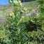 Marie-France Petibon - Aconitum lycoctonum subsp. vulparia (Rchb.) Nyman [1889]