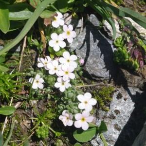 Photographie n°269166 du taxon Androsace alpina (L.) Lam.