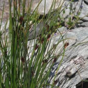 Photographie n°269174 du taxon Juncus jacquini L.