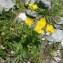 Jean-Luc Gorremans - Ranunculus montanus Willd.