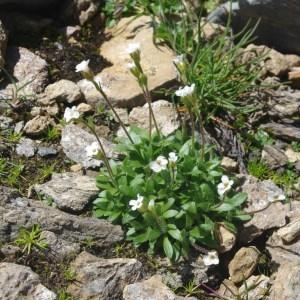 Saxifraga androsacea L. (Saxifrage androsace)