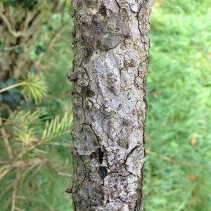 Photographie n°269239 du taxon Picea wilsonii Mast. [1903]