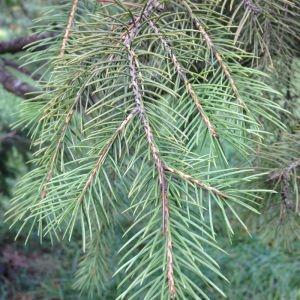 Photographie n°269242 du taxon Picea wilsonii Mast. [1903]