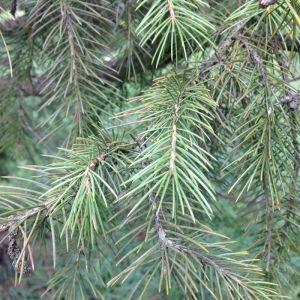 Photographie n°269243 du taxon Picea wilsonii Mast. [1903]